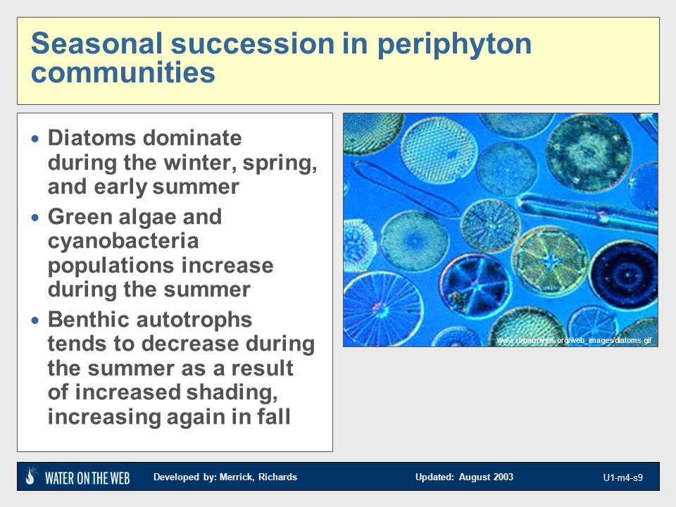 Developed by: Merrick, Richards Updated: August 2003 U1-m4-s9 Seasonal succession in periphyton communities  Diatoms dominate during the winter, spring, and early summer  Green algae and cyanobacteria populations increase during the summer  Benthic autotrophs tends to decrease during the summer as a result of increased shading, increasing again in fall www.urbanrivers.org/web_images/diatoms.gif