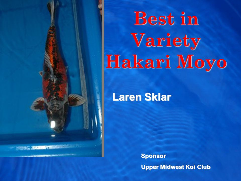 Best in Variety Hakari Moyo Laren Sklar Sponsor Upper Midwest Koi Club