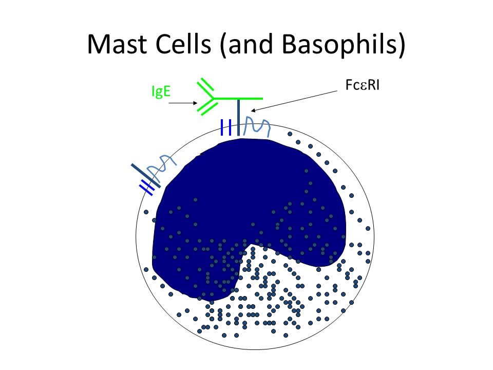 Mast Cells (and Basophils) IgE Fc  RI