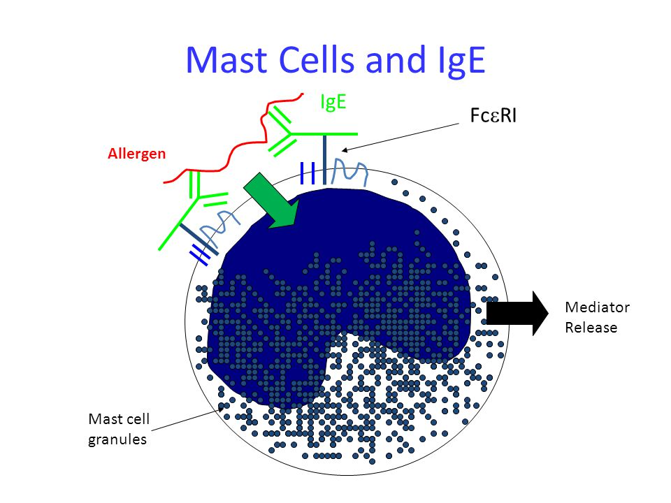 Mast Cells and IgE IgE Fc  RI Allergen Mediator Release Mast cell granules