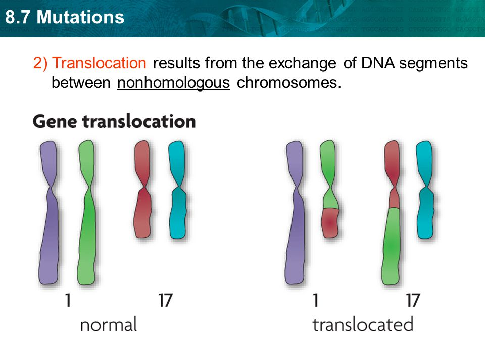 8.7 Mutations 2) Translocation results from the exchange of DNA segments between nonhomologous chromosomes.