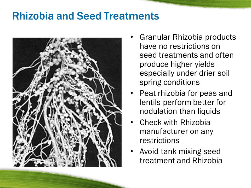 Rhizobia and Seed Treatments Granular Rhizobia products have no restrictions on seed treatments and often produce higher yields especially under drier