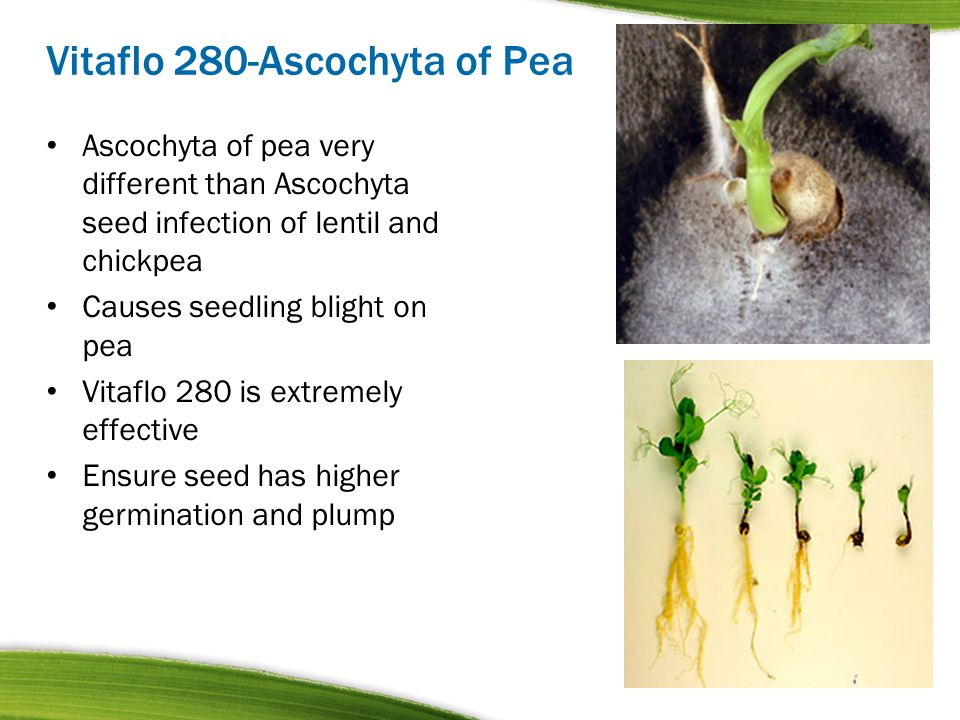 Vitaflo 280-Ascochyta of Pea Ascochyta of pea very different than Ascochyta seed infection of lentil and chickpea Causes seedling blight on pea Vitafl