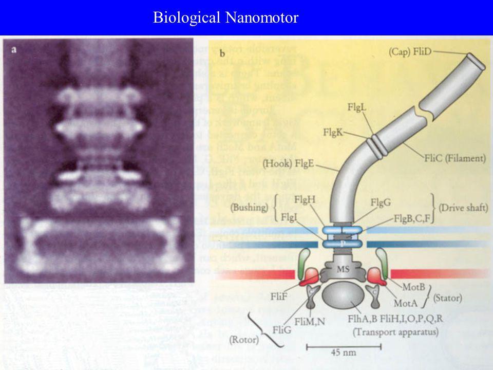 Biological Nanomotor