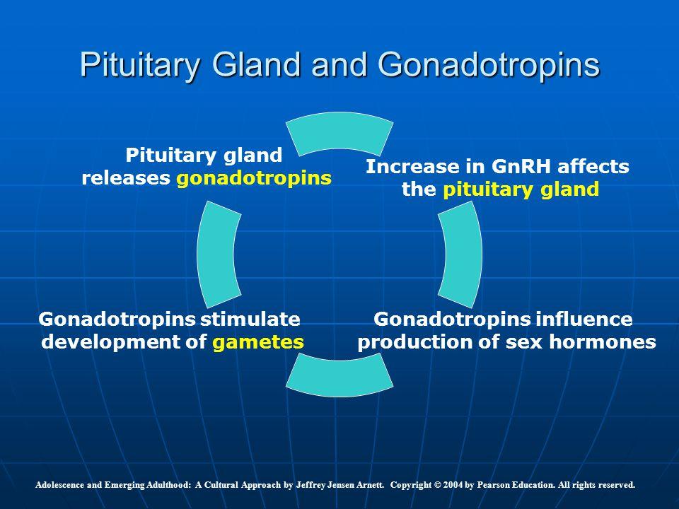 Pituitary Gland and Gonadotropins Increase in GnRH affects the pituitary gland Gonadotropins influence production of sex hormones Gonadotropins stimul