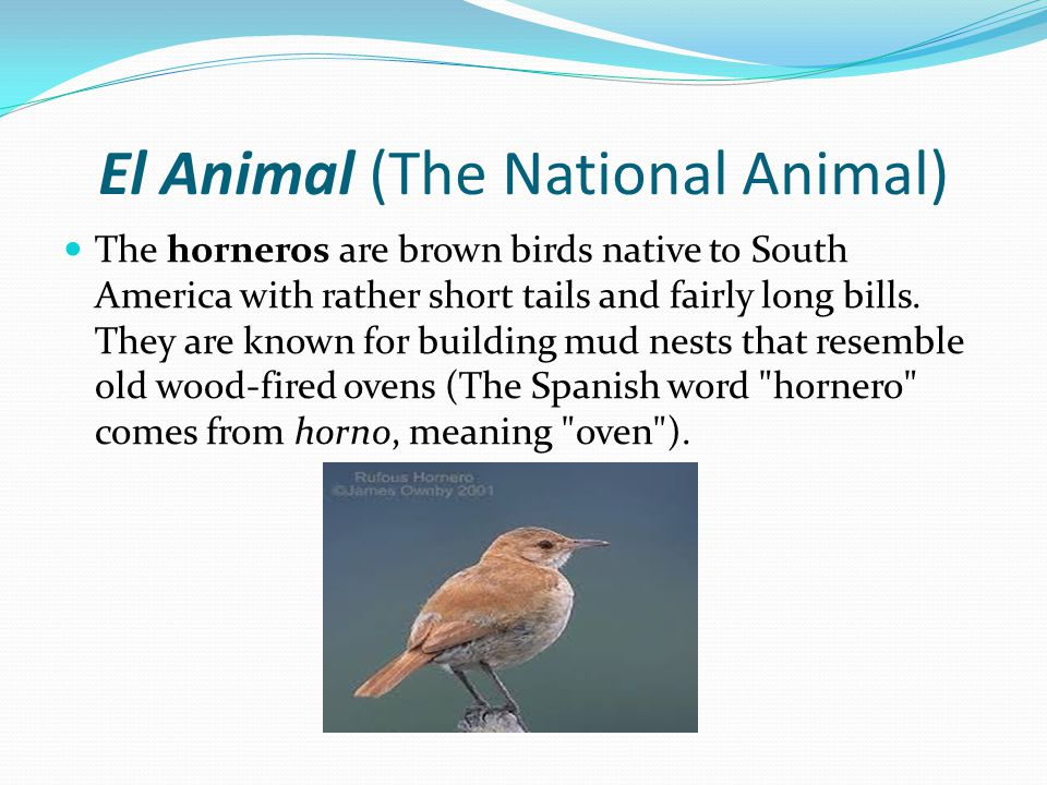 El Animal (The National Animal) The horneros are brown birds native to South America with rather short tails and fairly long bills.