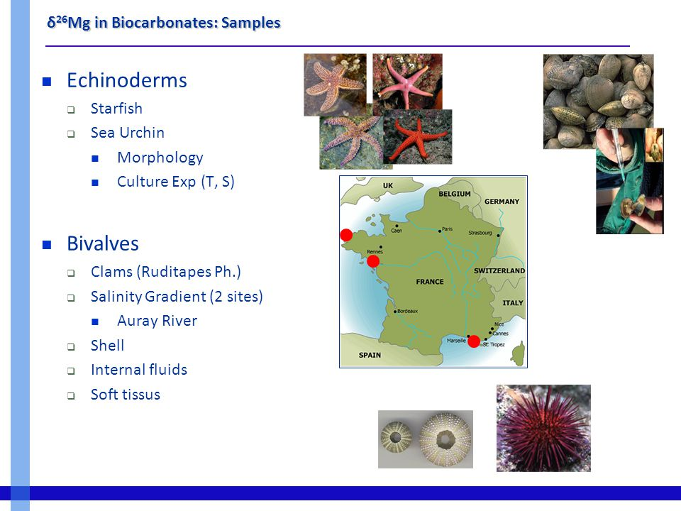 δ 26 Mg in Biocarbonates: Samples Echinoderms  Starfish  Sea Urchin Morphology Culture Exp (T, S) Bivalves  Clams (Ruditapes Ph.)  Salinity Gradient (2 sites) Auray River  Shell  Internal fluids  Soft tissus