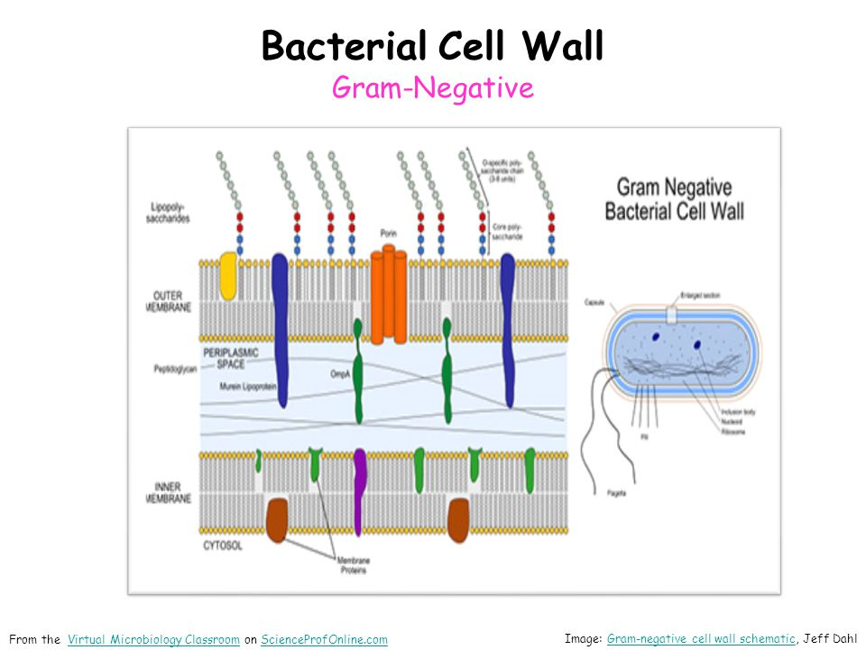 Bacterial Cell Wall Gram-Negative Image: Gram-negative cell wall schematic, Jeff DahlGram-negative cell wall schematic From the Virtual Microbiology C