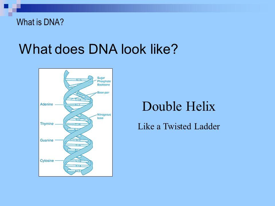 Sugar Phosphate Backbone (Sides of Ladder) Nitrogenous Base (Rungs of Ladder) What is DNA.