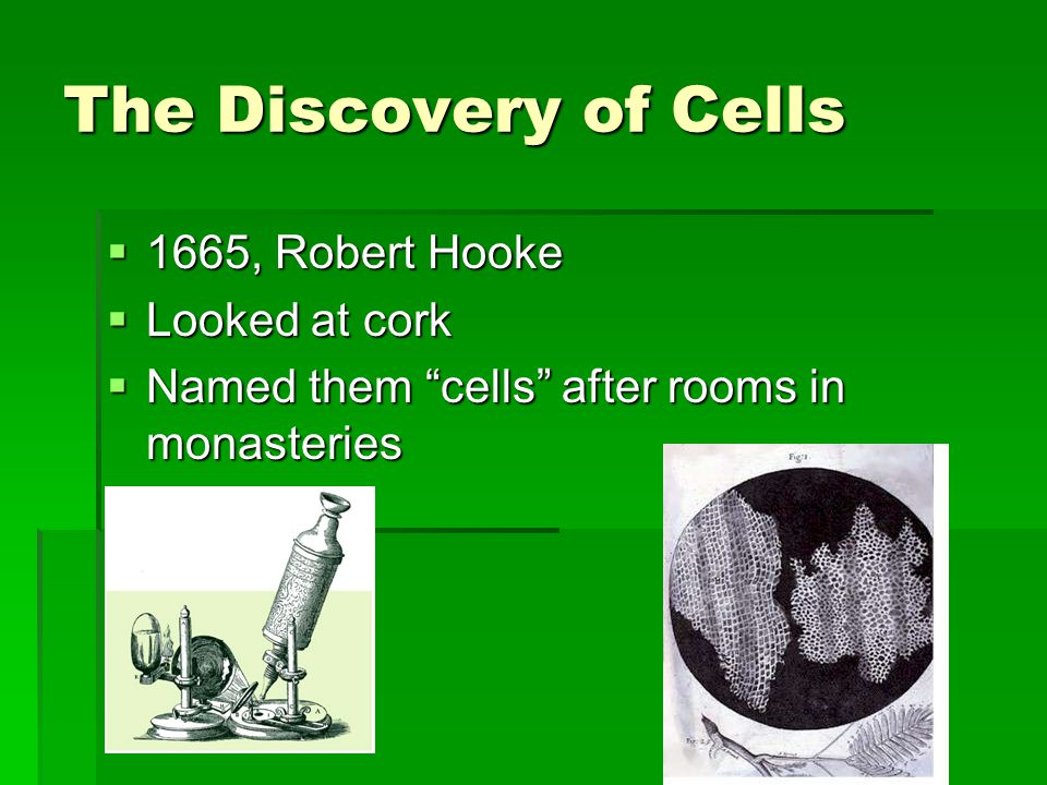 """The Discovery of Cells  1665, Robert Hooke  Looked at cork  Named them """"cells"""" after rooms in monasteries"""