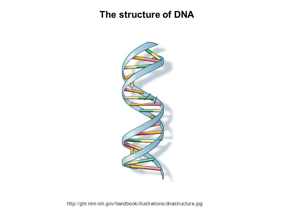 The structure of DNA http://ghr.nlm.nih.gov/handbook/illustrations/dnastructure.jpg