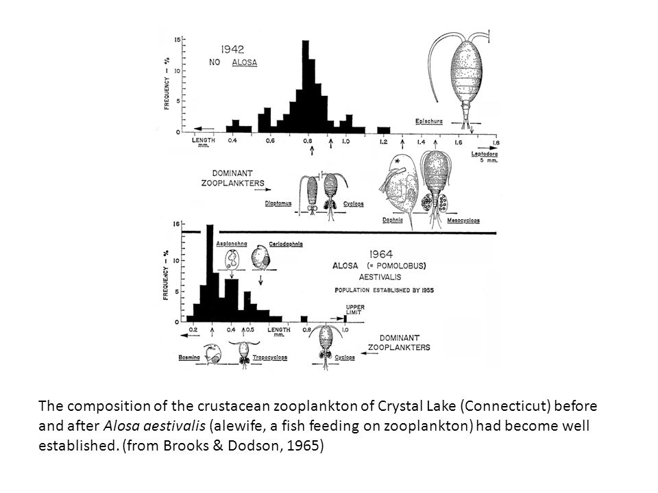 The composition of the crustacean zooplankton of Crystal Lake (Connecticut) before and after Alosa aestivalis (alewife, a fish feeding on zooplankton) had become well established.