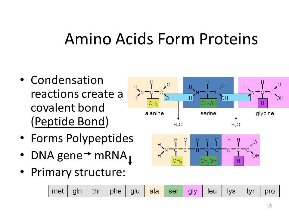 15 Amino Acids Form Proteins Condensation reactions create a covalent bond (Peptide Bond) Forms Polypeptides DNA gene mRNA Primary structure: 15 H H H NCC OH O CH 3 alanine H H H NCC OH O CH 2 OH serine H H H NCC OH O H glycine H2OH2OH2OH2O H H H NCC O CH 3 HH NCC O CH 2 OH HH NCC OH O H metalaserglyglnthrphegluleulystyrpro