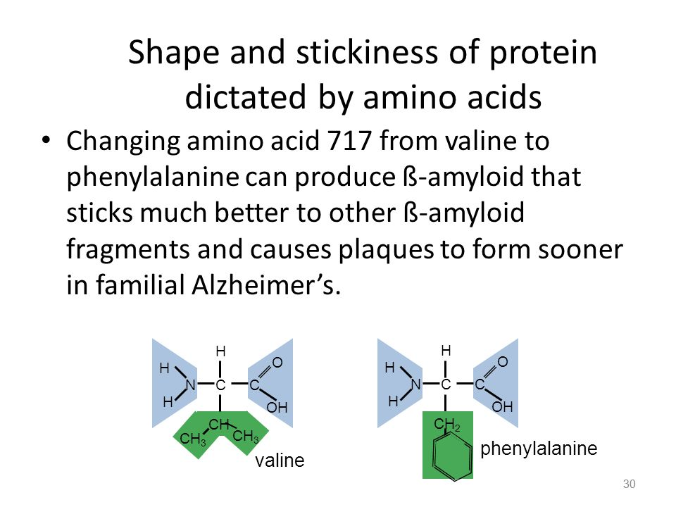 30 Shape and stickiness of protein dictated by amino acids Changing amino acid 717 from valine to phenylalanine can produce ß-amyloid that sticks much better to other ß-amyloid fragments and causes plaques to form sooner in familial Alzheimer's.