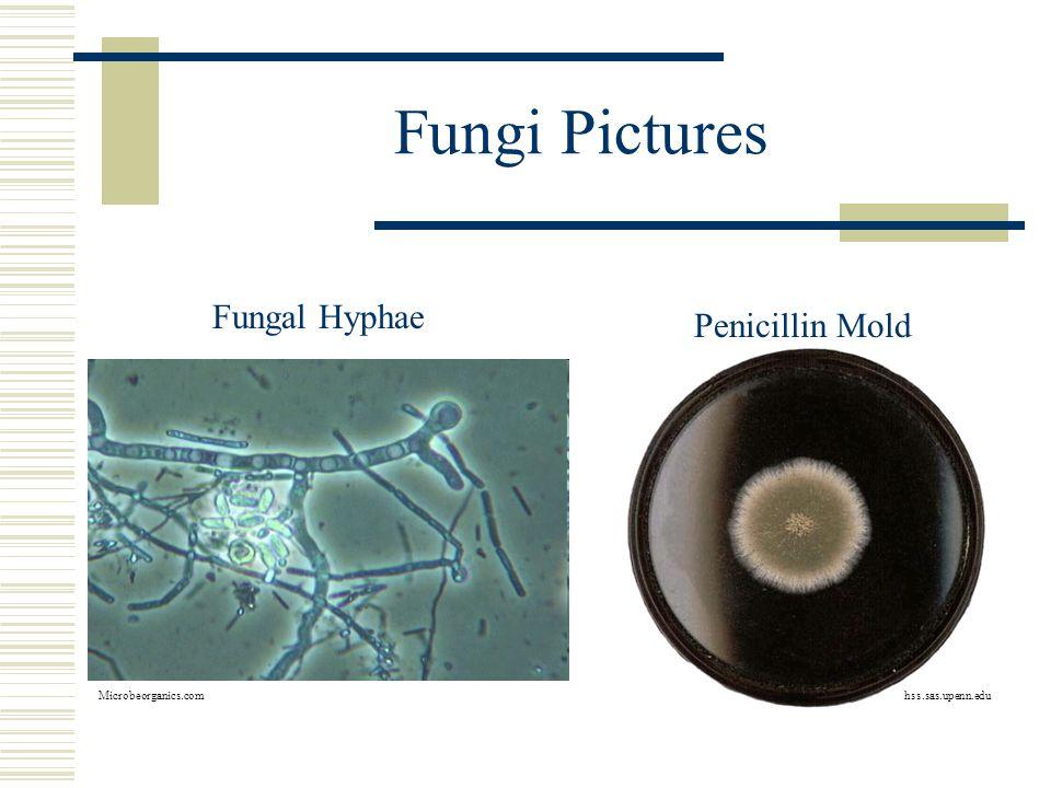 Fungi Pictures Fungal Hyphae Microbeorganics.com Penicillin Mold hss.sas.upenn.edu