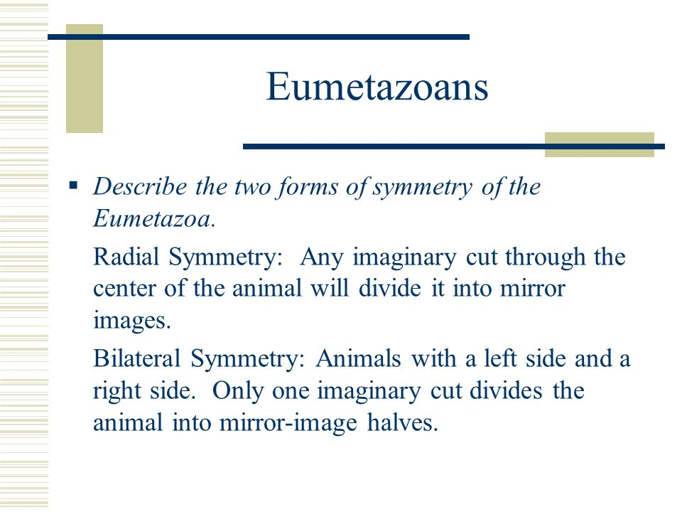 Eumetazoans  Describe the two forms of symmetry of the Eumetazoa. Radial Symmetry: Any imaginary cut through the center of the animal will divide it
