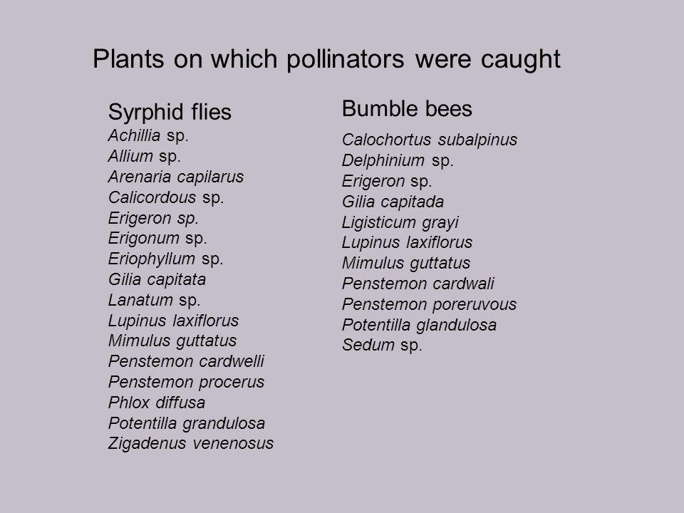 Plants on which pollinators were caught Achillia sp.