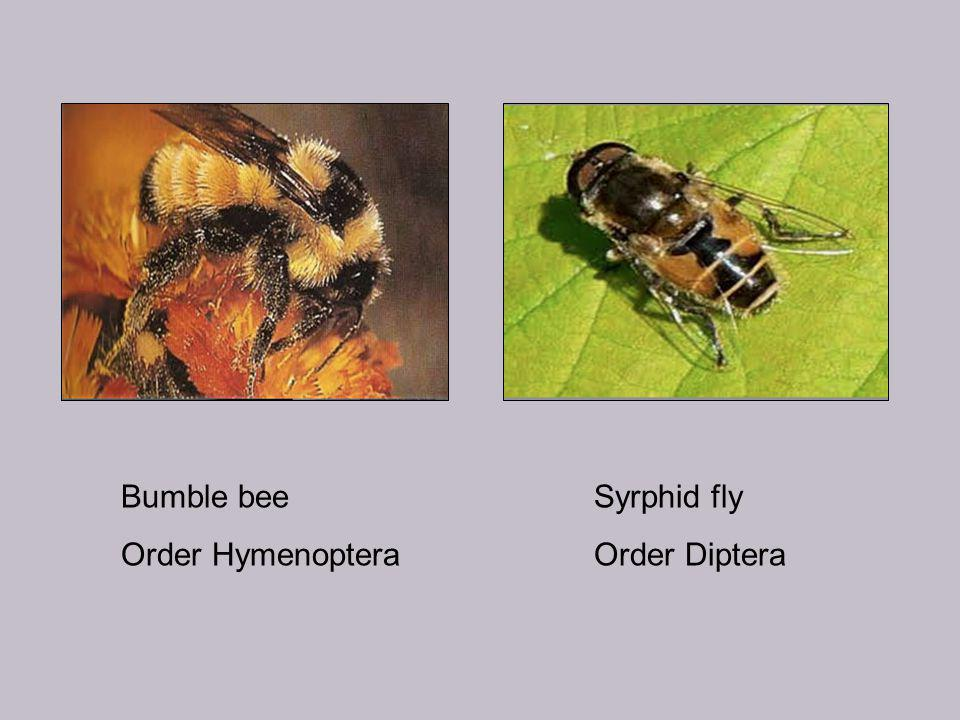 Bumble bee Order Hymenoptera Syrphid fly Order Diptera