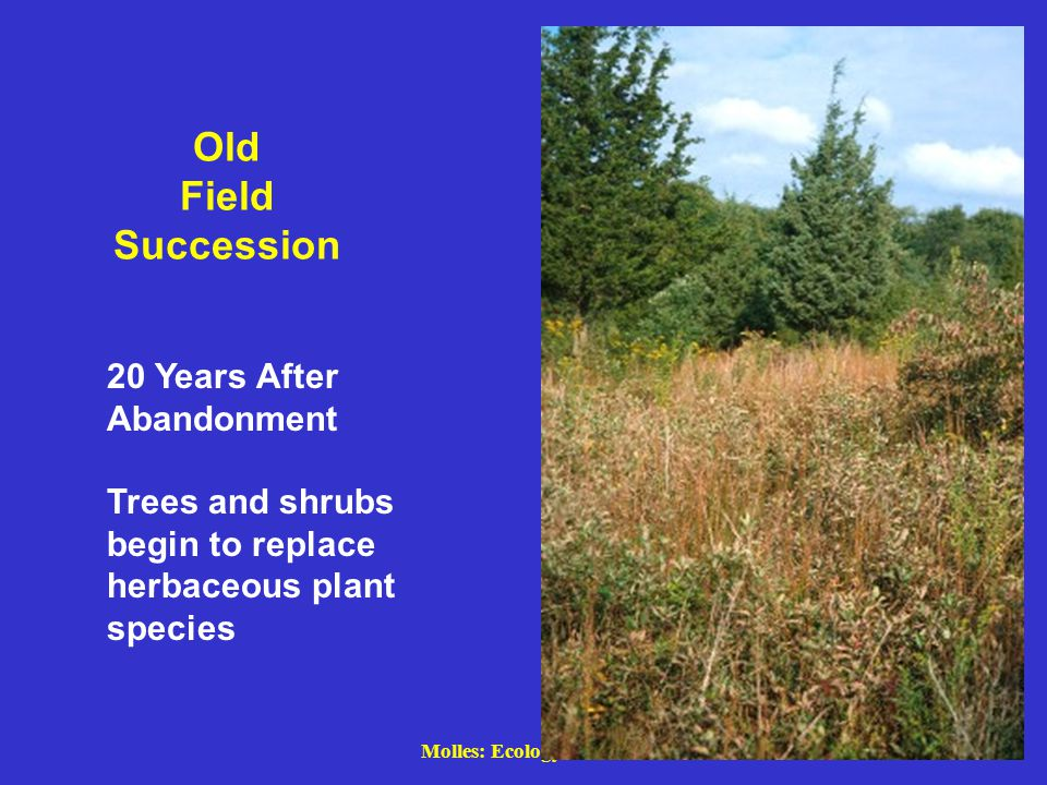Molles: Ecology 2 nd Ed. Old Field Succession 20 Years After Abandonment Trees and shrubs begin to replace herbaceous plant species