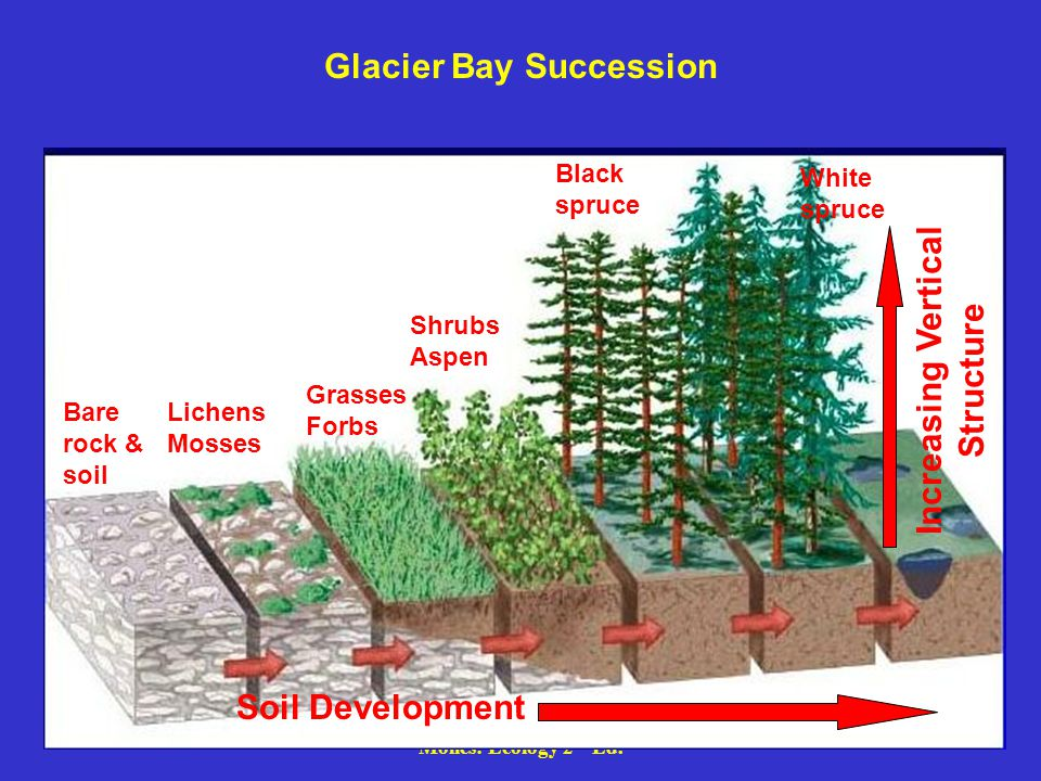 Glacier Bay Succession Soil Development Bare rock & soil Lichens Mosses Grasses Forbs Shrubs Aspen Black spruce White spruce Increasing Vertical Structure
