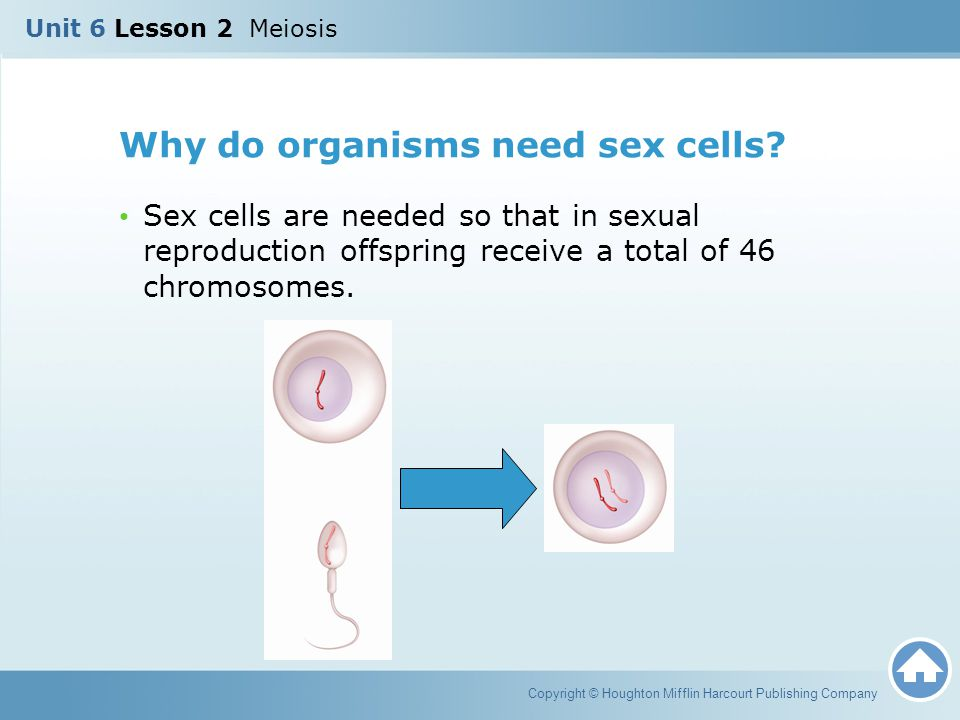 Why do organisms need sex cells? Sex cells are needed so that in sexual reproduction offspring receive a total of 46 chromosomes. Copyright © Houghton
