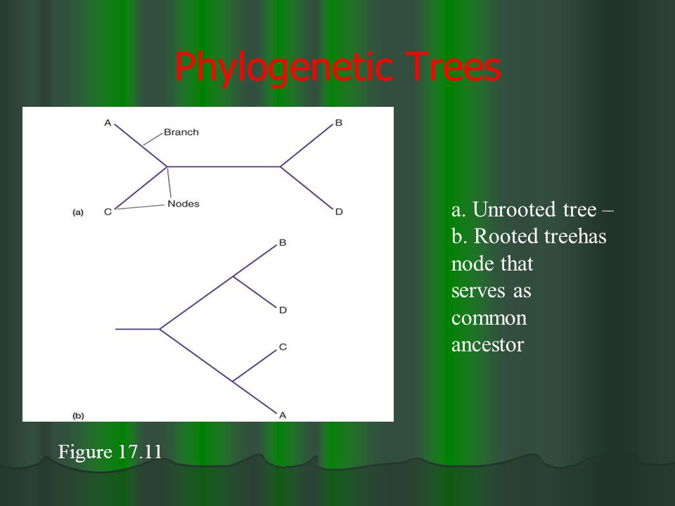 Phylogenetic Trees Figure 17.11 a. Unrooted tree – b. Rooted treehas node that serves as common ancestor
