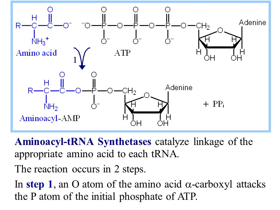 Aminoacyl-tRNA Synthetases catalyze linkage of the appropriate amino acid to each tRNA. The reaction occurs in 2 steps. In step 1, an O atom of the am