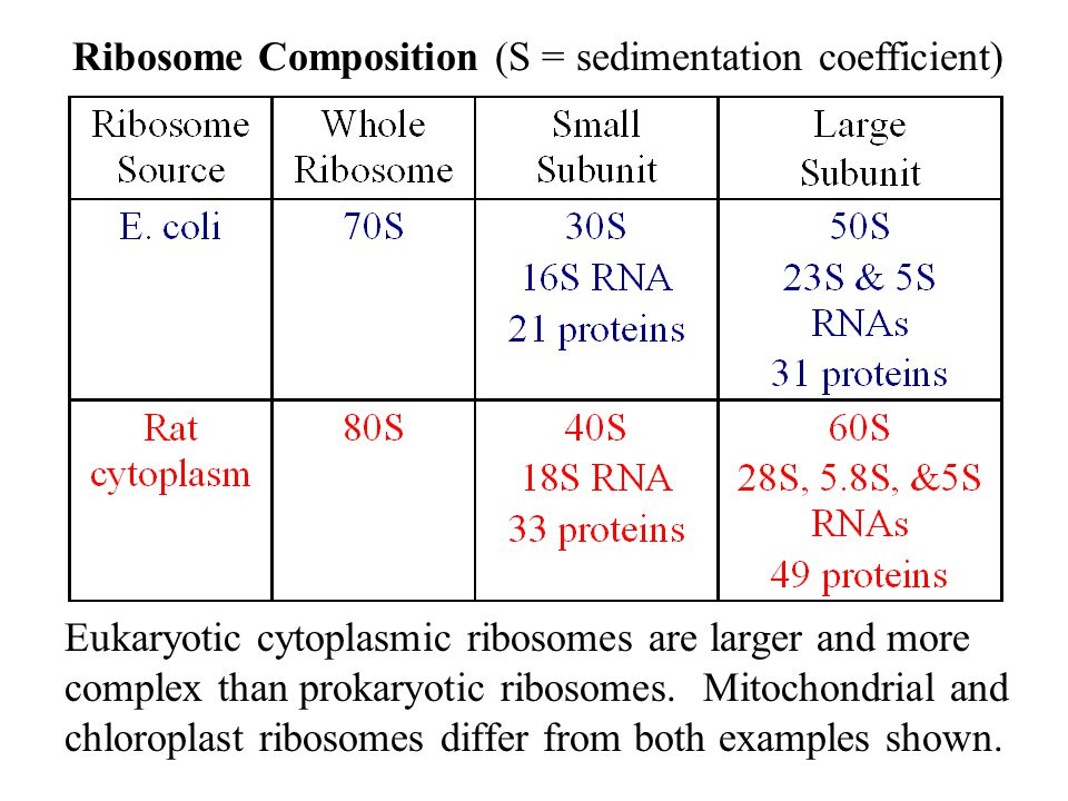 Eukaryotic cytoplasmic ribosomes are larger and more complex than prokaryotic ribosomes. Mitochondrial and chloroplast ribosomes differ from both exam
