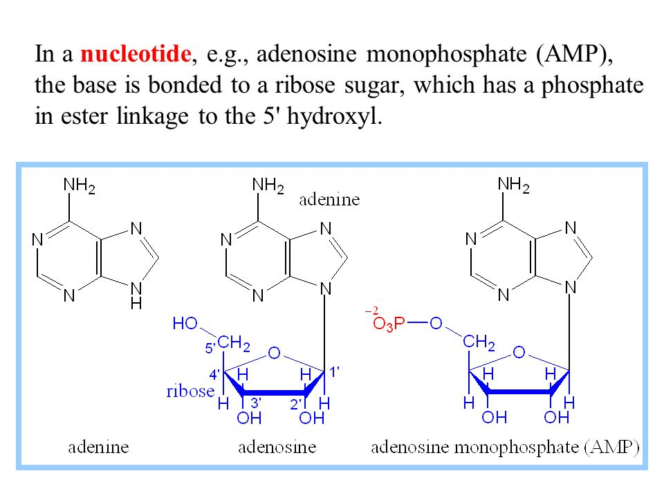 In a nucleotide, e.g., adenosine monophosphate (AMP), the base is bonded to a ribose sugar, which has a phosphate in ester linkage to the 5' hydroxyl.