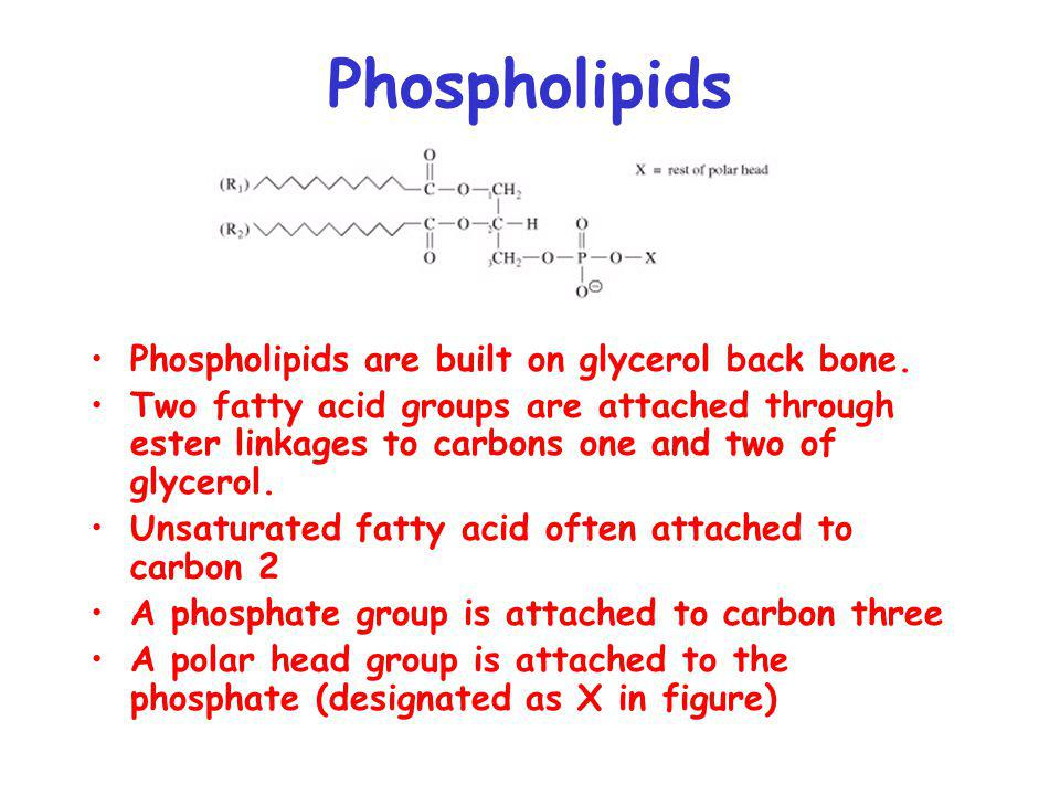 Phospholipids Phospholipids are built on glycerol back bone. Two fatty acid groups are attached through ester linkages to carbons one and two of glyce
