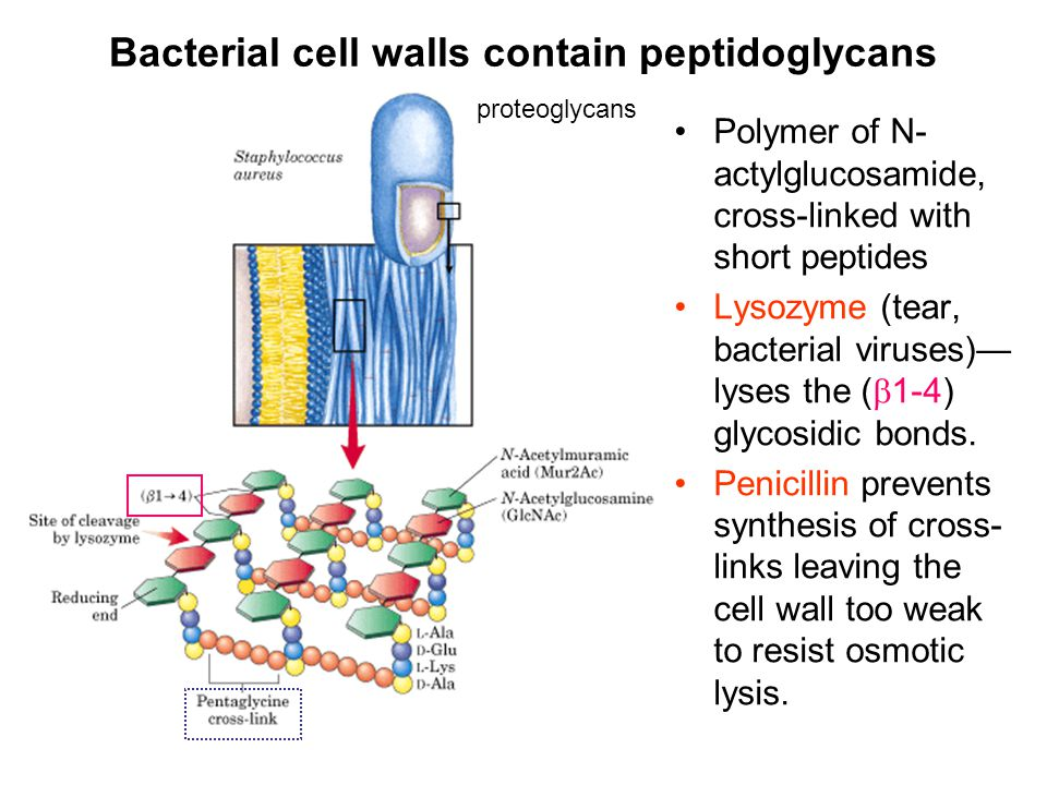 Bacterial cell walls contain peptidoglycans Polymer of N- actylglucosamide, cross-linked with short peptides Lysozyme (tear, bacterial viruses)— lyses the (  1-4) glycosidic bonds.