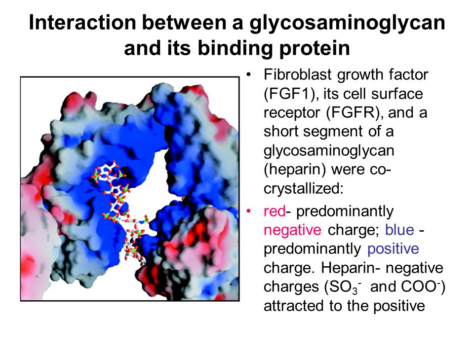 Interaction between a glycosaminoglycan and its binding protein Fibroblast growth factor (FGF1), its cell surface receptor (FGFR), and a short segment of a glycosaminoglycan (heparin) were co- crystallized: red- predominantly negative charge; blue - predominantly positive charge.