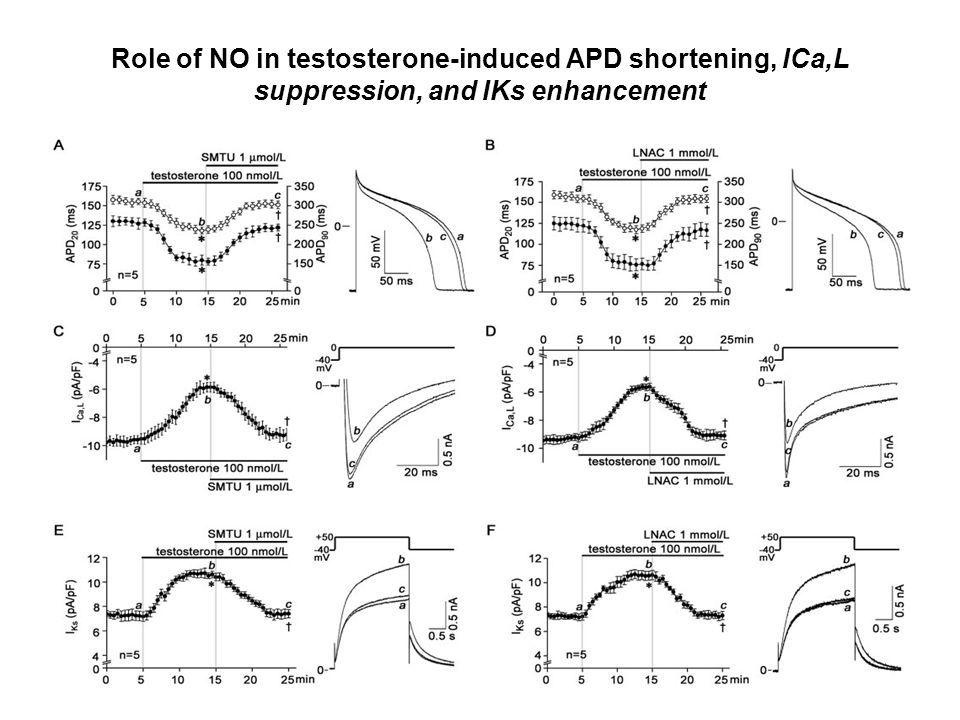 Role of NO in testosterone-induced APD shortening, ICa,L suppression, and IKs enhancement