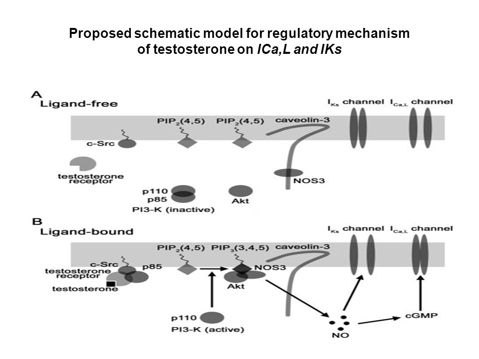 Proposed schematic model for regulatory mechanism of testosterone on ICa,L and IKs