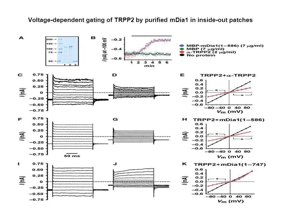 Voltage-dependent gating of TRPP2 by purified mDia1 in inside-out patches