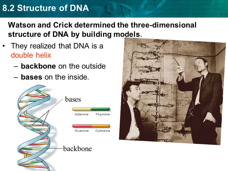 Watson and Crick determined the three-dimensional structure of DNA by building models. They realized that DNA is a double helix –backbone on the outsi