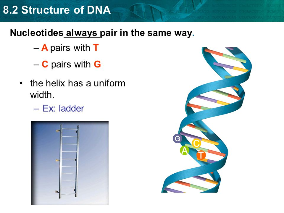 8.2 Structure of DNA T A C G Nucleotides always pair in the same way. the helix has a uniform width. –Ex: ladder – A pairs with T – C pairs with G