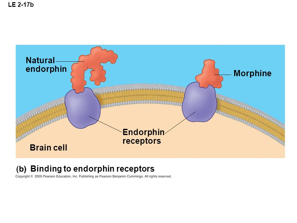 LE 2-17b Natural endorphin Morphine Brain cell Endorphin receptors Binding to endorphin receptors