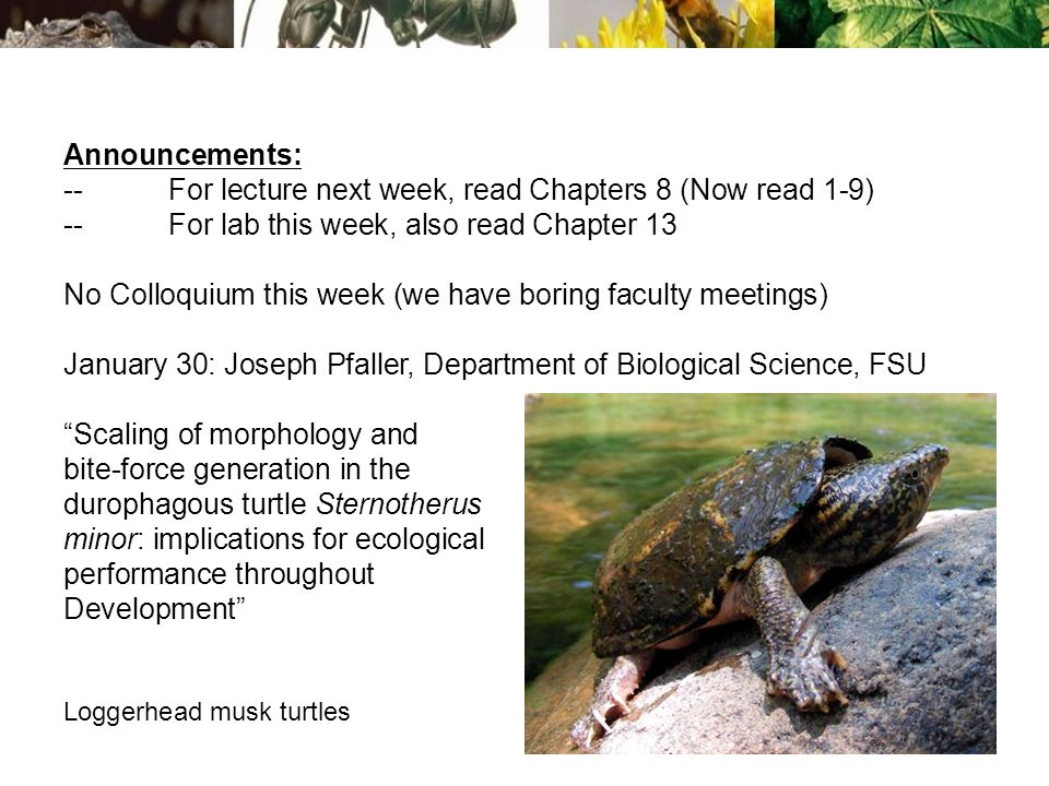Announcements: --For lecture next week, read Chapters 8 (Now read 1-9) --For lab this week, also read Chapter 13 No Colloquium this week (we have boring faculty meetings) January 30: Joseph Pfaller, Department of Biological Science, FSU Scaling of morphology and bite-force generation in the durophagous turtle Sternotherus minor: implications for ecological performance throughout Development Loggerhead musk turtles