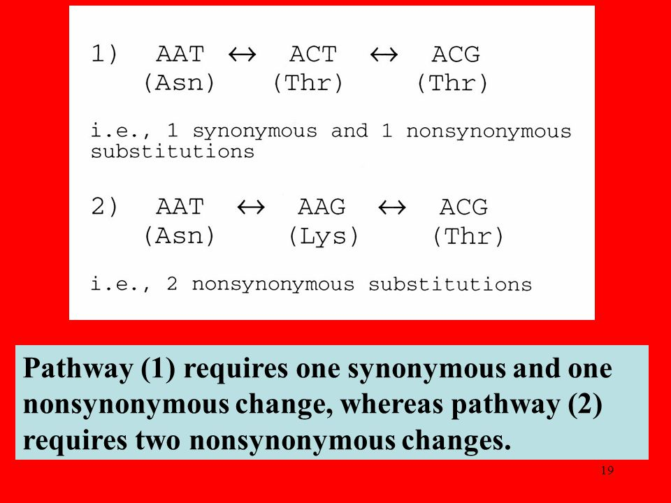 19 Pathway (1) requires one synonymous and one nonsynonymous change, whereas pathway (2) requires two nonsynonymous changes.
