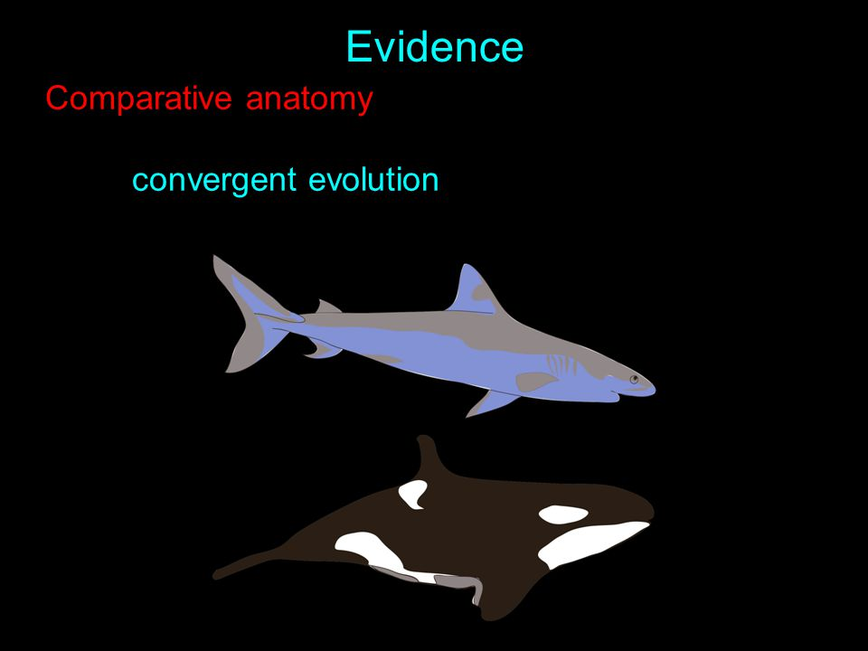 Evidence Comparative anatomy convergent evolution