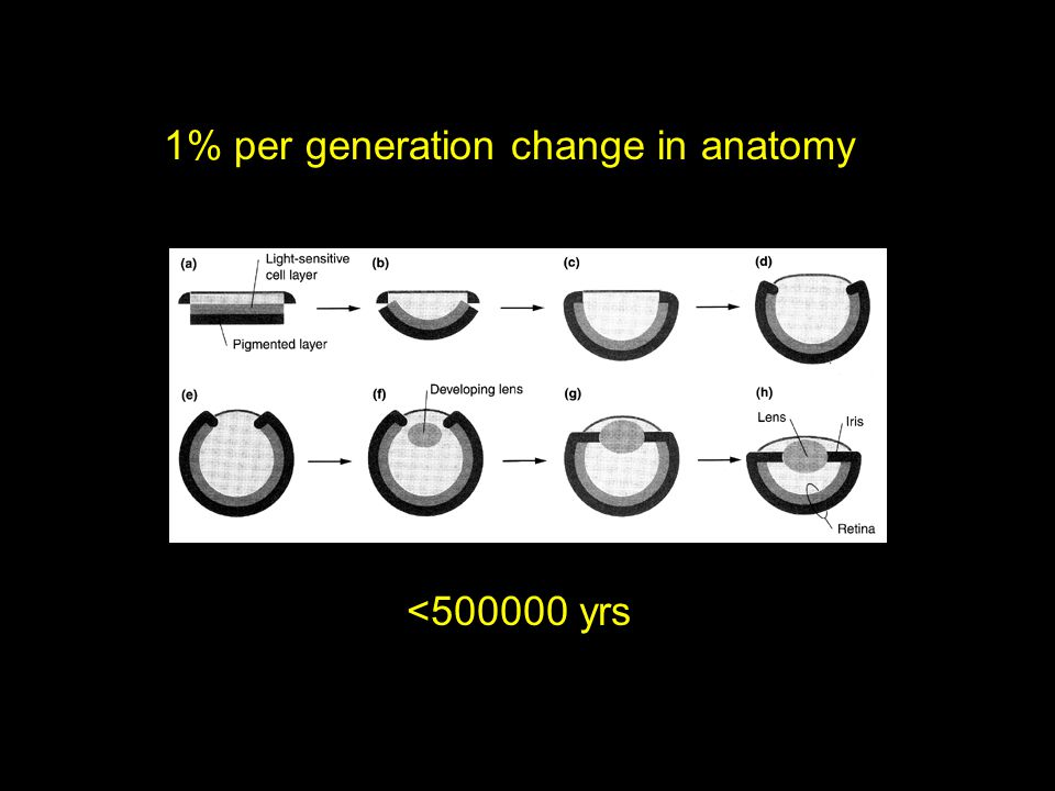 1% per generation change in anatomy <500000 yrs