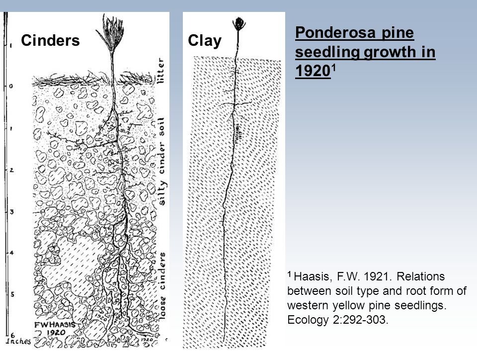 CindersClay 1 Haasis, F.W. 1921. Relations between soil type and root form of western yellow pine seedlings. Ecology 2:292-303. Ponderosa pine seedlin