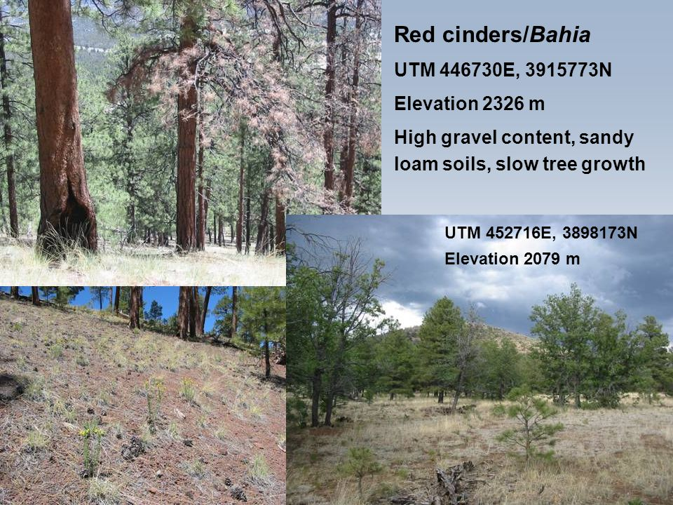 Red cinders/Bahia UTM 446730E, 3915773N Elevation 2326 m High gravel content, sandy loam soils, slow tree growth UTM 452716E, 3898173N Elevation 2079