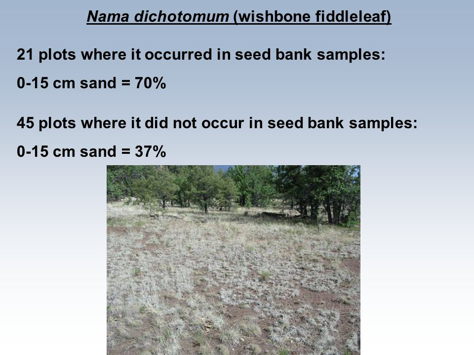 Nama dichotomum (wishbone fiddleleaf) 21 plots where it occurred in seed bank samples: 0-15 cm sand = 70% 45 plots where it did not occur in seed bank