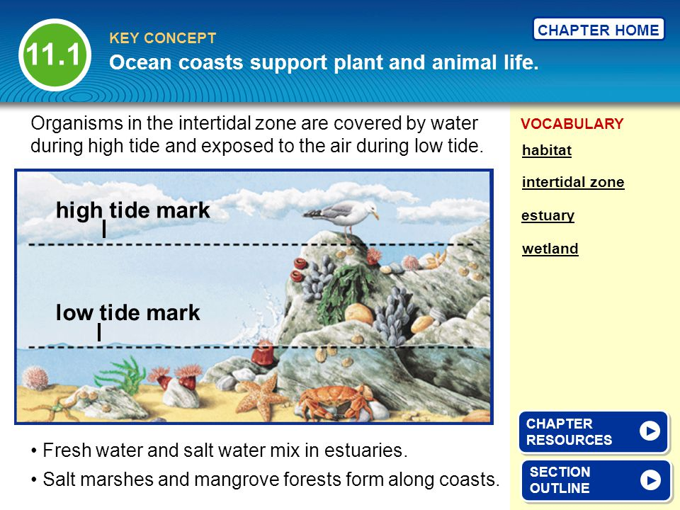 VOCABULARY KEY CONCEPT CHAPTER HOME SECTION OUTLINE SECTION OUTLINE Ocean coasts support plant and animal life. intertidal zone habitat estuary wetlan