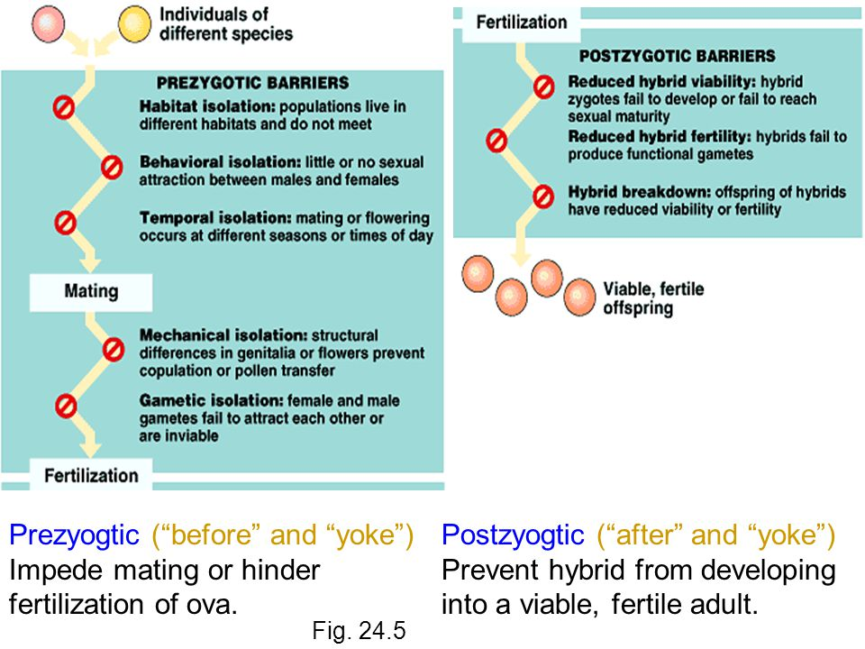 Prezyogtic ( before and yoke ) Impede mating or hinder fertilization of ova.