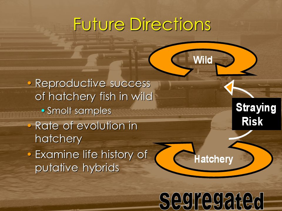 Future Directions Reproductive success of hatchery fish in wildReproductive success of hatchery fish in wild Smolt samplesSmolt samples Rate of evolut