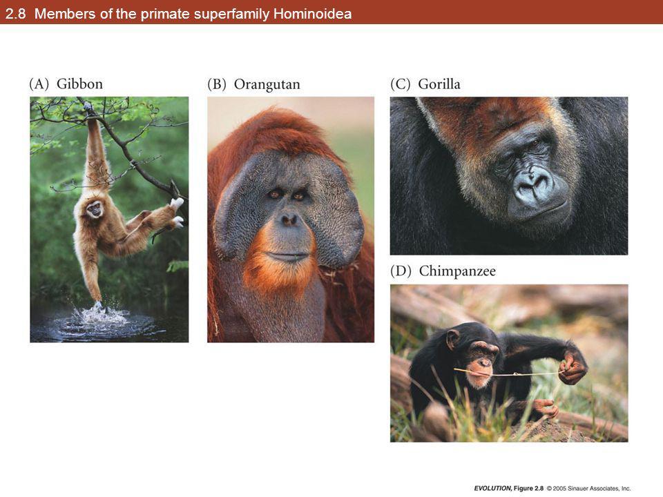 2.8 Members of the primate superfamily Hominoidea