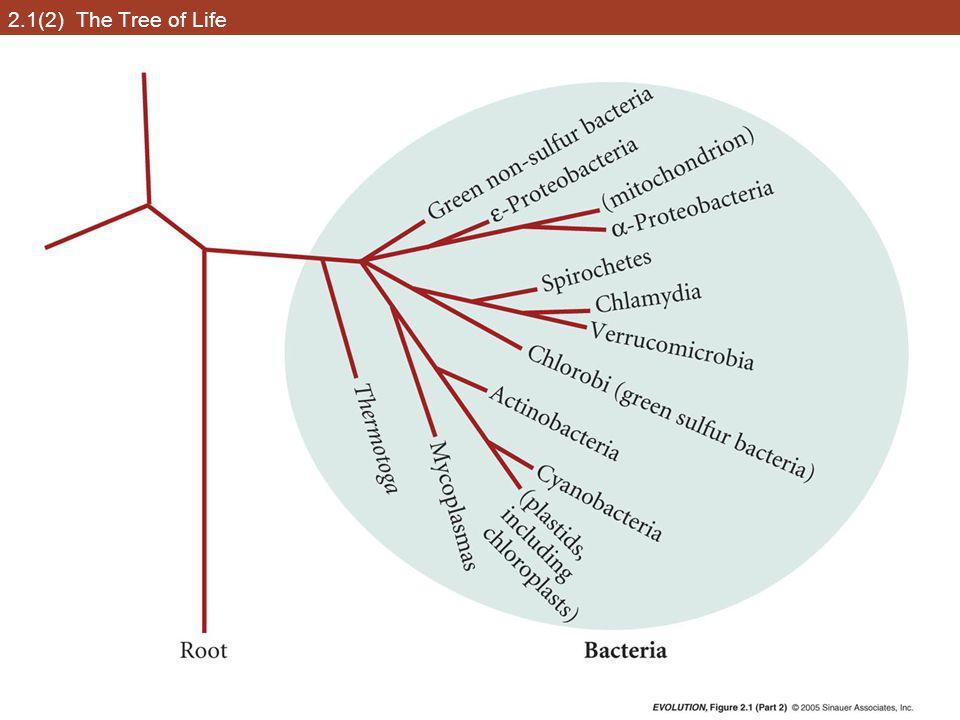 2.9 Evidence for phylogenetic relationships among primates, based on the  -globin pseudogene